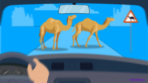 Insurance for Stray Camels Accidents